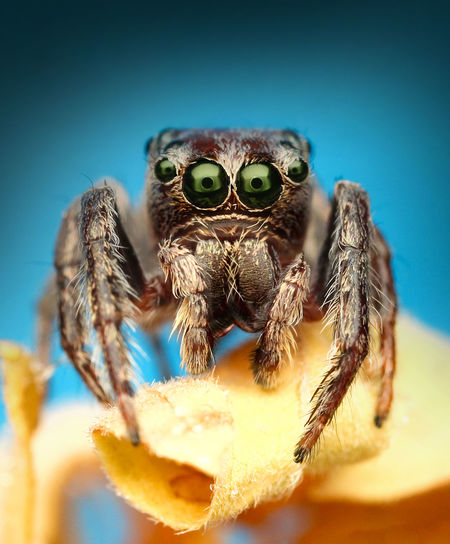 Macro Shot Of Jumping Spider On Dry Leaf