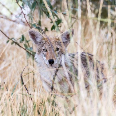 Juvenile coyote thinks it can't be seen