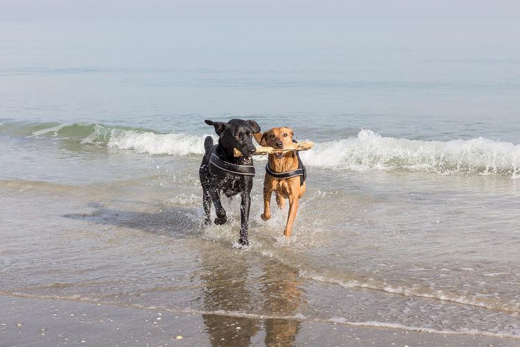 Dog running on beach by sea against sky