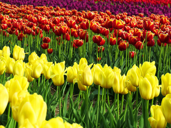 Field of tulips - yellow, two colors and purple Abundance Beauty In Nature Close-up Field Flower Flower Head Flowerbed Flowering Plant Fragility Freshness Growth Inflorescence Land Nature No People Outdoors Petal Plant Red Springtime Tulip Vulnerability  Yellow