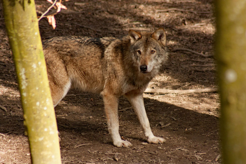 Wild! Animal Themes Animal Wildlife Animals In The Wild Day Heulen Howl Mammal Nature No People One Animal Outdoors Standing Wolf