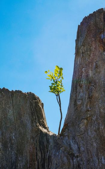Tree Trunk Tree Low Angle View Nature No People Day Outdoors Growth Clear Sky Blue Beauty In Nature Textured  Plant Close-up Sky Branch Flower Seedling Young Tree Young Plant Plant Summer Spring Young Small