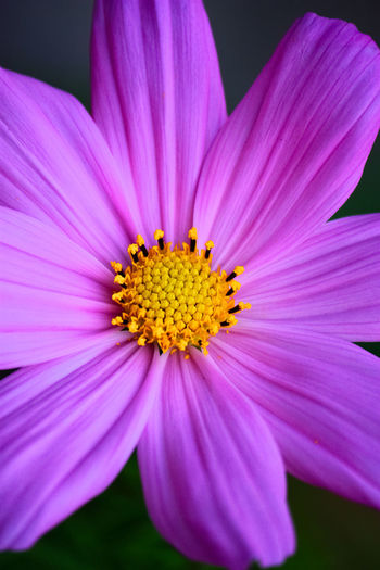 Beauty In Nature Blooming Close-up Cosmos Flower Crocus Day Flower Flower Head Fragility Freshness Growth Nature No People Outdoors Petal Pink Color Plant Pollen Purple Yellow
