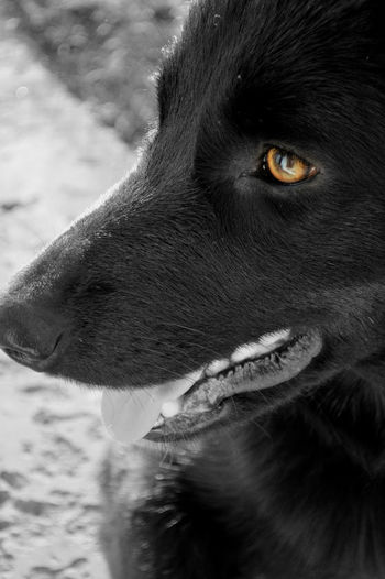 Salem, a GSD x Border Collie. Taken with a Nikon D3200 Animal Animal Eye Animal Head  Black Color Close-up Day Looking Away No People Outdoors Pets Portrait Selective Focus