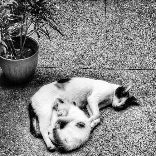 Cat Cuddles Iphonephotography EyeEm Phillippines Anything EyeEm Best Shots Anythingfortheshot IPhoneography EyeEm Eyeemcollection Wildlife & Nature Black&white Photography