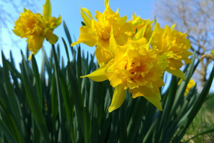 Yellow Beauty In Nature Flower Nature Fragility Growth Plant Freshness Petal Springtime No People Close-up Field Flower Head Outdoors Day Sky Daffodils Daffodils In The Sun Spring