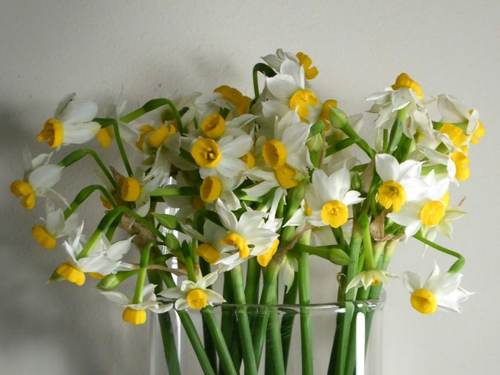 Tazetta Narcissus Canaliculatus Cut Flowers