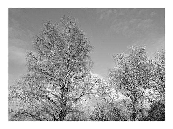 Silver birch No People Outdoors Day Autumn🍁🍁🍁 Nature Sky Tree Autumn Lovelancashire Monochrome Black And White Photography Horwich Bare Tree Branch Low Angle View Beauty In Nature Tranquility