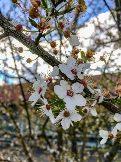 Flower Blossom Tree Springtime Branch Fragility Beauty In Nature Apple Blossom Apple Tree Nature Almond Tree White Color Growth Cherry Tree Orchard Botany Freshness No People Twig Petal