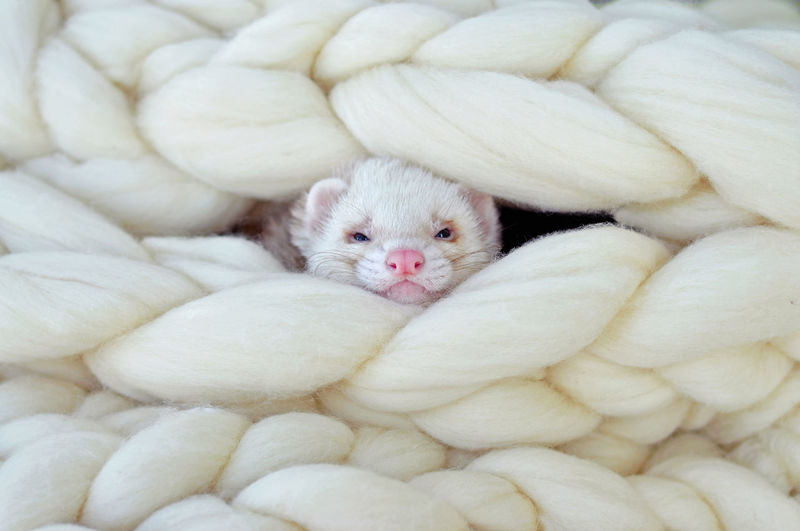 Animal Themes Blanket Comfy  Comfy And Cozy Cozy Ferret Ferrets  Home Home Interior Indoors  No People One Animal Young Animal Pet Portraits My Best Photo