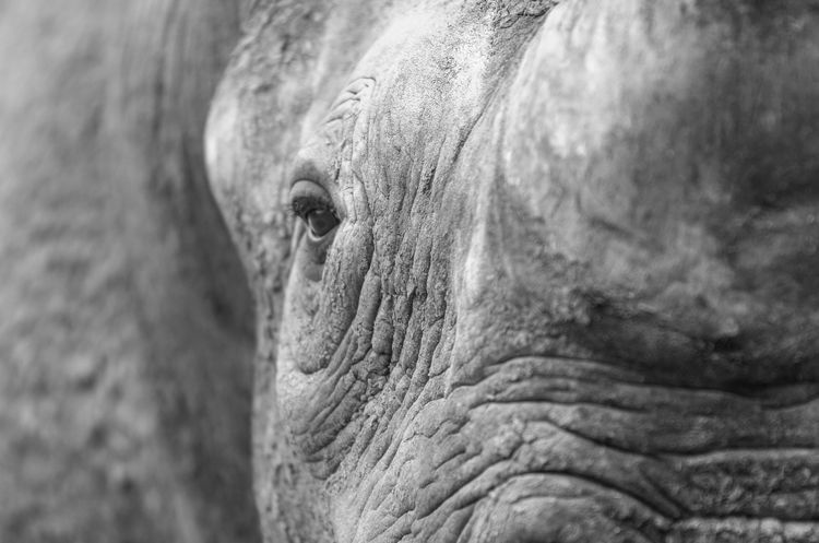 Rhino. Animal Body Part Animal Head  Animal Horn Animal Themes Animals In The Wild Beautiful Nature Beauty In Nature Black And White Captivity Close-up Endagered Species EyeEm Nature Lover Large Animal Mammal Nature One Animal Rhino Rhinoceros Textured  Tough Wildlife Wildlife & Nature
