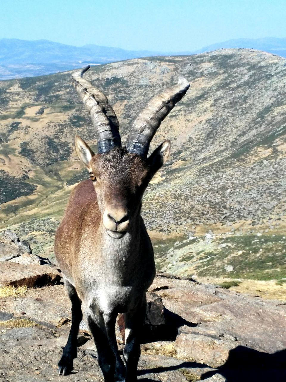 animal themes, animal, animal wildlife, one animal, animals in the wild, mammal, looking at camera, day, mountain, nature, portrait, rock, vertebrate, rock - object, solid, horned, no people, landscape, sunlight, standing, outdoors, herbivorous