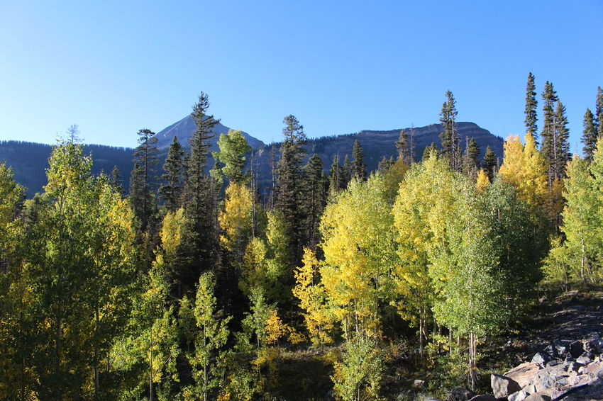 Aspen trees turning golden in Colorado during autumn Autumn Autumn Colors Autumn Leaves Colorado Aspen Aspen Trees Beauty In Nature Blue Clear Sky Day Forest Growth Mountain Nature No People Outdoors Pine Tree Scenics Sky Tranquil Scene Tranquility Tree