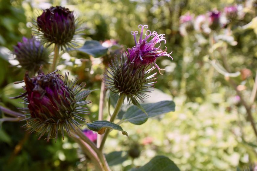 Beauty In Nature Burdock Close-up Day Flower Flower Head Flowering Plant Focus On Foreground Fragility Freshness Growth Inflorescence Nature No People Outdoors Petal Pink Color Plant Pollination Purple Thistle Vulnerability