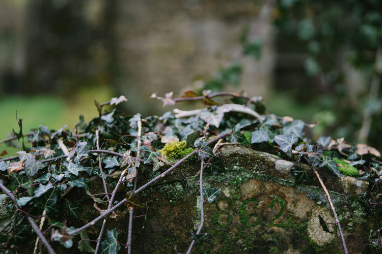 Cemetery Ivy Leaves Beauty In Nature Close-up Day Focus On Foreground Graveyard Ivy Ivy Covered No People Outdoors Selective Focus