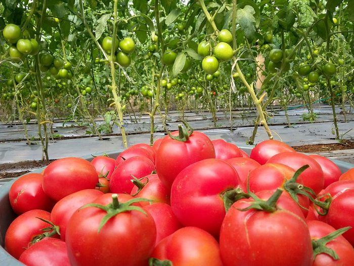 Optimis, yakin dan percaya. Tree Fruit Red Tomato Close-up Food And Drink