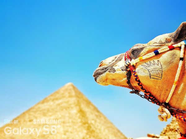 One Animal Day Low Angle View No People Outdoors Blue Close-up Sky Architecture Nature Mammal GalaxyS8+ History Ancient King - Royal Person Egypt Cairo Tourism Vacations Travel Travel Destinations Arts Culture And Entertainment Been There.