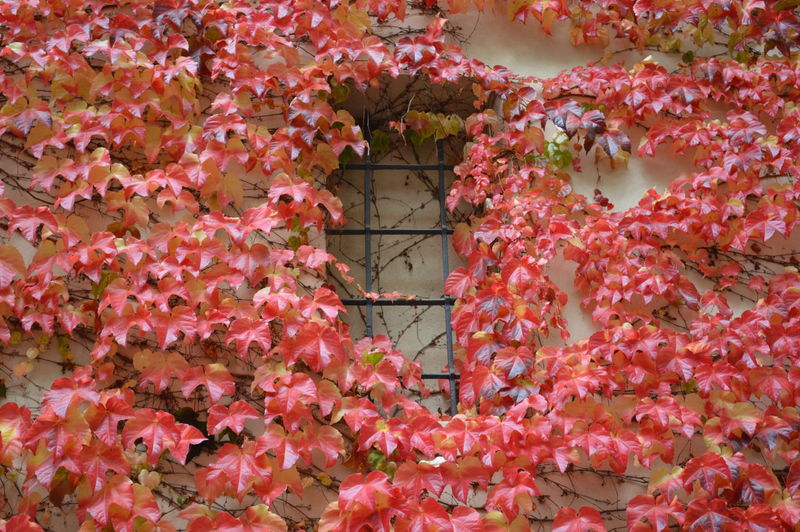 Feeling Thankful Stunning Enjoying Life Moments Seeing The Sights Beautiful Nature Enjoying Nature Beautiful Photography Photo Taking Photos Cityscapes Old Buildings Walking Around Mypointofview Colorful Streetphotography Ontheroad Leaves Autumn Red Colours Perfect Nature Bestoftheday