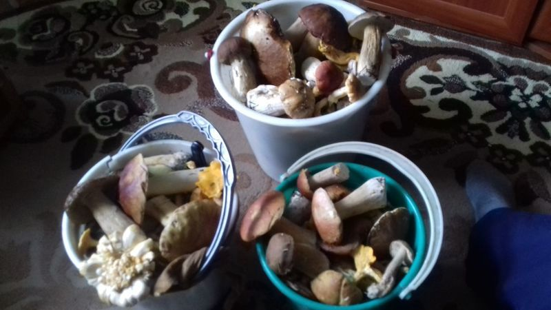 #mushrooms Mushrooms 🍄🍄 Mushroom Nature Boletus боровик Fungus Белый гриб лето Chanterelle Mushrooms Chanterelle грибы лисички грибнойсезон деревня Горная Шория Природа Bowl High Angle View Close-up Food And Drink