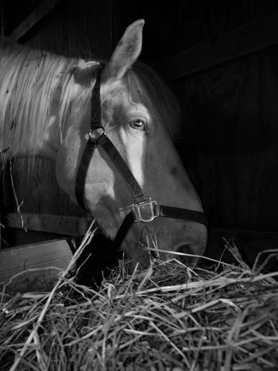 EyeEm Selects Horse One Animal Domestic Animals Livestock Stable Horses White Horse Animal Themes Mammal Animal Day No People Outdoors Close-up Grass Pet Portraits Animals White Horse Portrait Black And White Photography Welcome To Black The Week On EyeEm Equine Photography Light And Shadow Horses Of Eyeem Black And White Friday