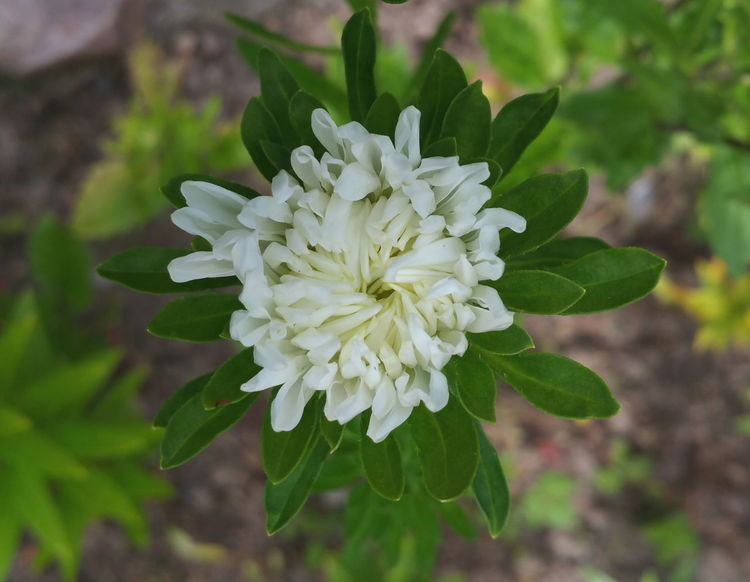 ...Flower Petal Flower Head Close-up White Color Plant Single Flower In Bloom Blossom Blooming Green Color Aster White Looking Down Garden сад астра