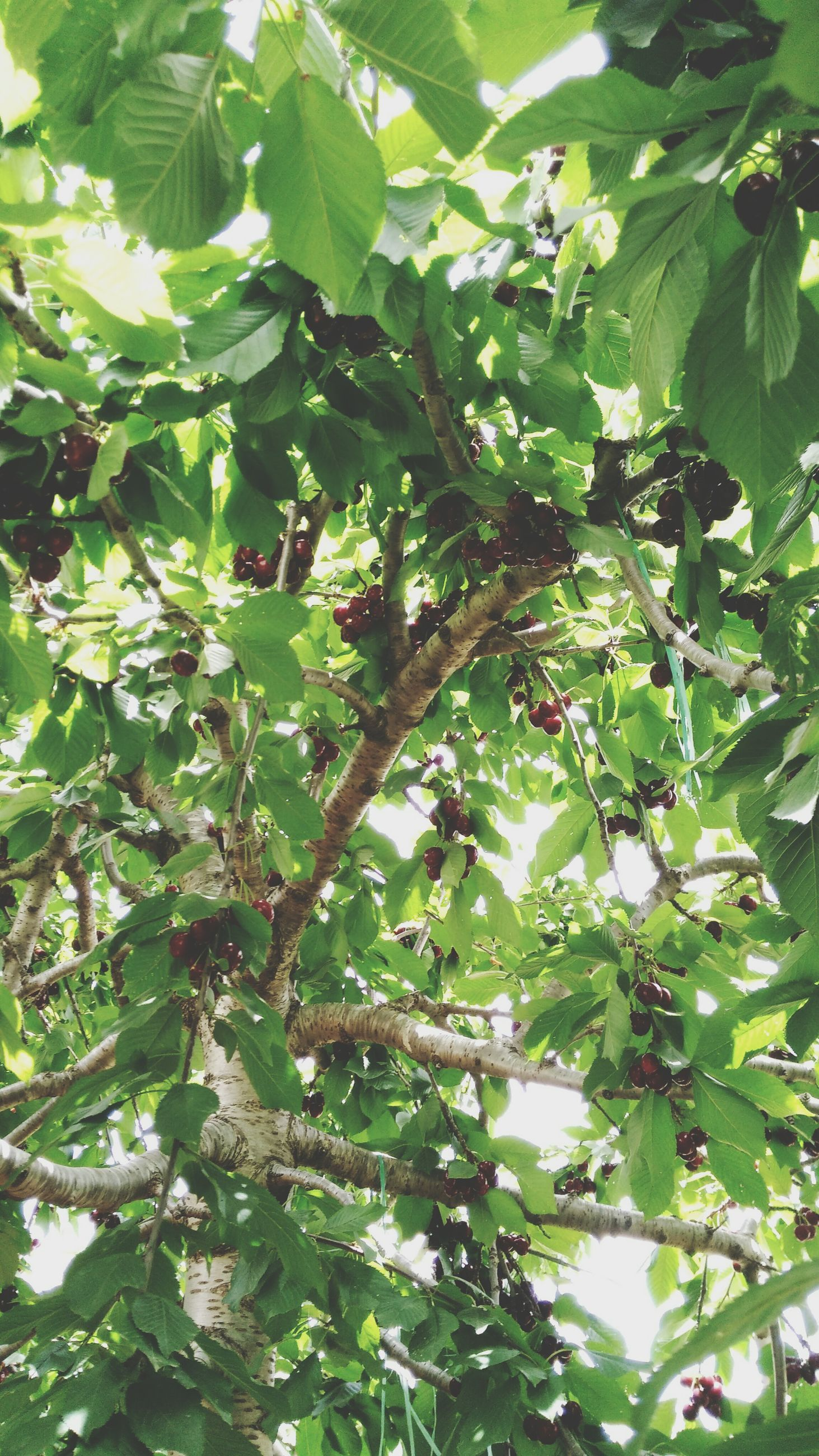growth, low angle view, tree, nature, leaf, fruit, green color, branch, no people, backgrounds, beauty in nature, full frame, outdoors, freshness, food and drink, food, day, close-up