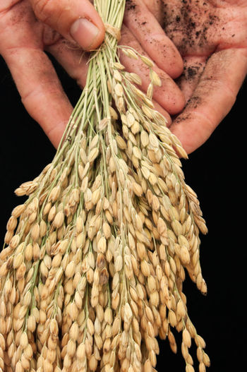 Habrá and rice Farmer Agriculture Rice Paddy Rice - Cereal Plant Rice Human Hand Tied Up Choice Close-up Food And Drink Raw Food Farmer Market Cereal Plant My Best Photo