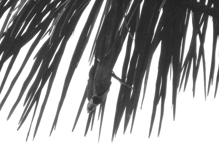 ¿ Donde esta el papagayo ? Papagayo Amazonia Reserva Pacaya Peru Acrobat Blackandwhite Nature Travel Photography - January 2016