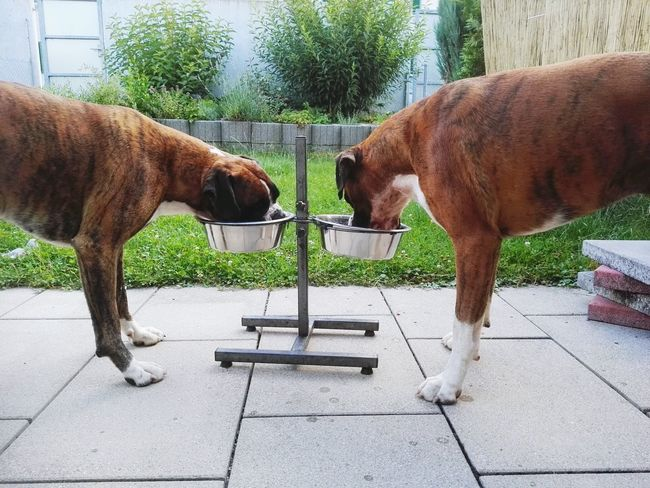 Two Is Better Than One Enjoying Life My Friend Apollo Und Baxter I Love My Dog Beauty In Nature Brothers Boxer Dogs Apollo