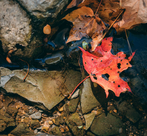 Animal Themes Autumn Beauty In Nature Change Close-up Day Dry Fragility High Angle View Leaf Leaves Maple Maple Leaf Nature No People Outdoors