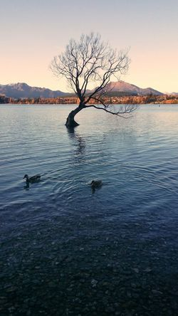 The Guardians of Wanaka Tree. Branches Foliage Branch Trees Nature Landscape Scenics Beauty In Nature Tranquil Scene Newzealand NZ South Island Nzmustdo Wanaka Wanakalake Wanaka Tree Swimming Animals In The Wild Duck Ripple Mountain South Island Getty X EyeEm
