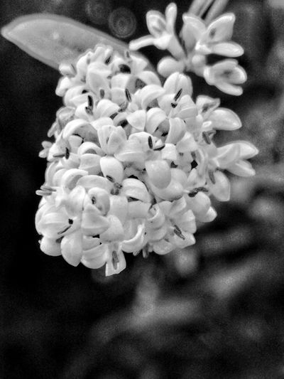 Black & White HDR Hdr_Collection Art Beauty In Nature Blackandwhite Close-up Day Flower Flower Head Flowering Plant Focus On Foreground Fragility Freshness Growth Inflorescence Monochrome monochrome photography Nature No People Outdoors Petal Plant Vulnerability  White Color