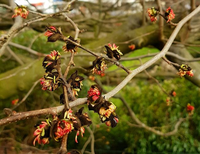 The Persian Ironwood (from the shores of the Caspian Sea) is one of the first trees to flower in January in UK. Persian Ironwood Parrotia Persica Tree Flowers January Tree Flowers Inconspicuous Tree Flowers Tree In England Bournemouth UK England Winter Unusual Tree Flowers