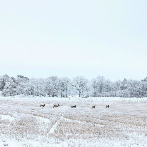 Flock of sheep on field against clear sky during winter