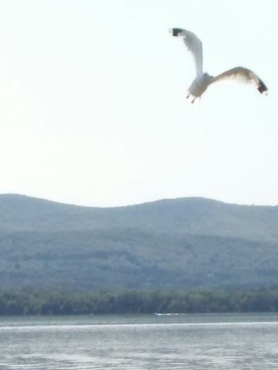 Bird Flying Animal Themes Water Mid-air Spread Wings Seagull Free Bird Newburgh Water Front Flying In The Sky The Week On EyeEm Lost In The Landscape Perspectives On Nature Freelance Life Feeling Free Like A Bird Flying High Cloud - Sky Scenics Nature Outdoors Peaceful View