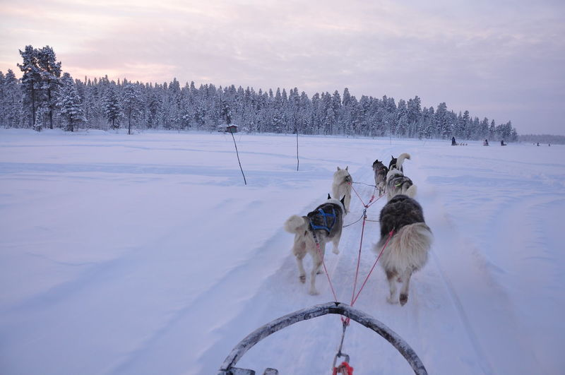 Dogs Pulling Sleigh On Snowy Field During Winter