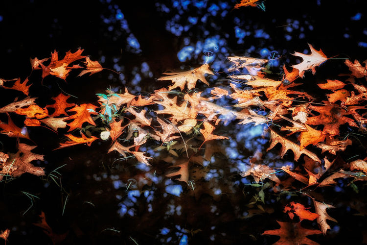 Close-up of maple leaves floating on water