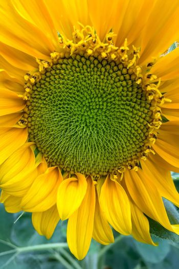 Giant Sunflower Helianthus Annuus Composite Flower Yellow Petal Ray Flower Green Color Disc Flower Florets Spiral Pattern Sunflower Helianthus Sunflower Head Flower Pollen Leaf Plant Beauty In Nature Springtime Blooming Close-up No People Outdoors Day November 2017 —