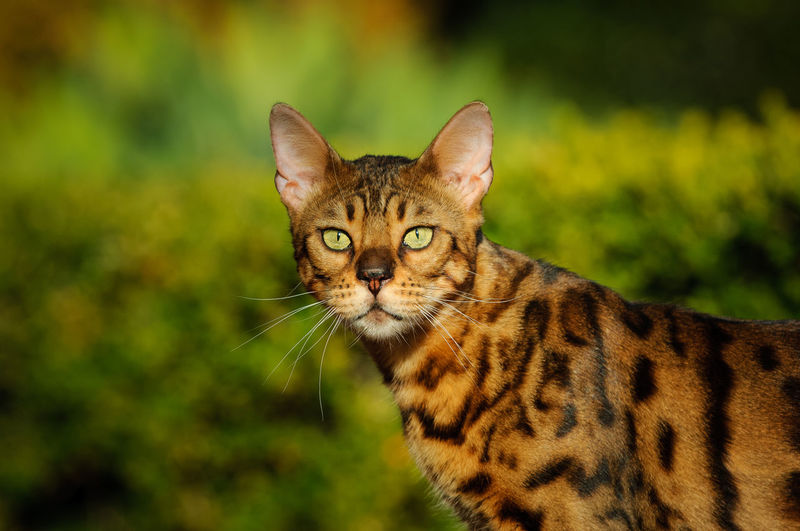 Bengal cat outdoor portrait Feline Cat One Animal Animal Themes Animal Mammal Pets Domestic Portrait Domestic Cat Day No People Whisker Close-up Land Animal Head  Tabby Animal Eye Looking At Camera Bengal Cat Bengal Spotted