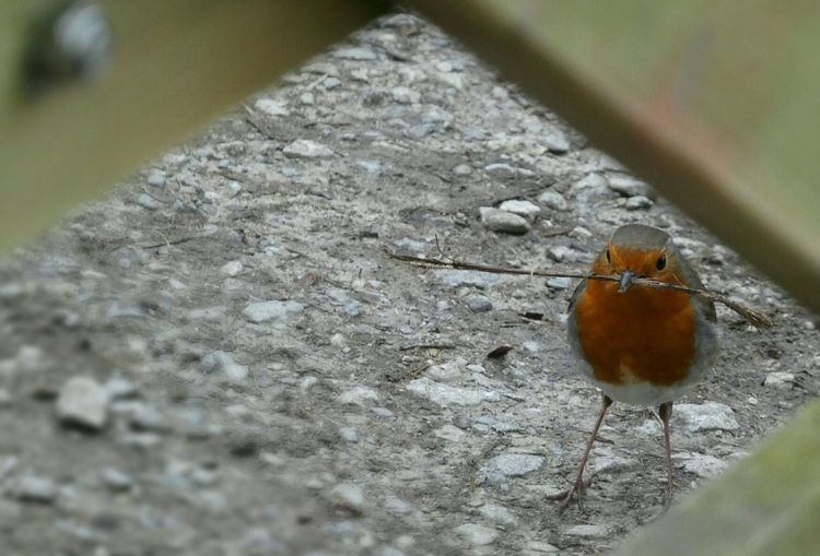 Let the nest building begin... Spring Is In The Air Nest Building Robin Robin Redbreast Twig Animal Themes Animals In The Wild Close-up Gate View Through The Gate Nature Beauty In Nature Outdoors No People Day Eye Em Nature Lover
