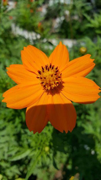 EyeEm Nature Lover Flowers Orange Flower From My Lens Flowers From My Garden Orange Enjoying Life Eyem Nature Lovers  Macro_collection