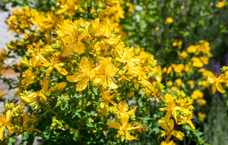 St. John´s Wort, Tipton's weed, rosin rose, Hypericum perforatum, Bavaria, Germany, Europe Goatweed Herb Herbs Hypericum Perforatum Johanniskraut Klamath Weed Medicinal Millepertuis Commun Officinal Perforé Plant Plants Rosin Rose St John's Wort Tiptons Weed Beauty In Nature Close-up Day Flower Fragility Freshness Growth Nature No People Outdoors Petal Plant Yellow