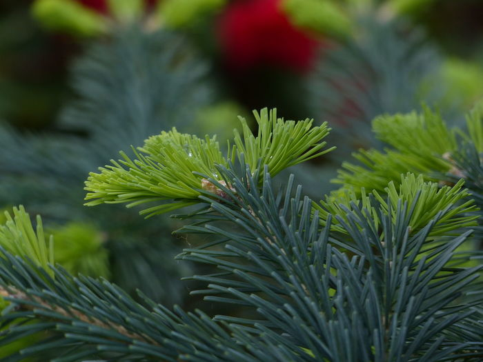 Plant Growth Green Color Close-up Beauty In Nature Pine Tree Leaf Nature No People Plant Part Day Tree Coniferous Tree Needle - Plant Part Focus On Foreground Tranquility Selective Focus Branch Outdoors Freshness Fir Tree