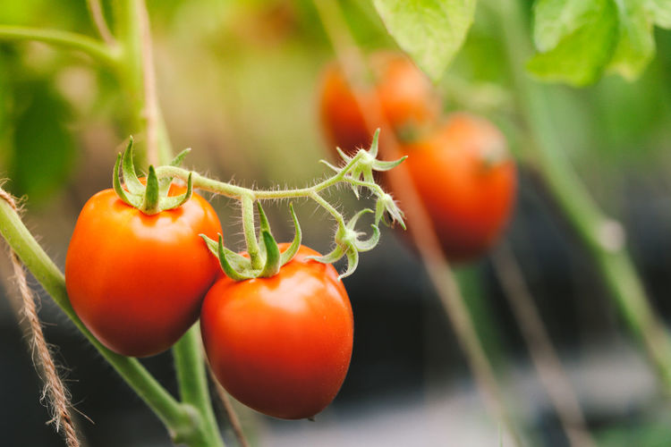 Close-up of orange tomatoes growing on plant