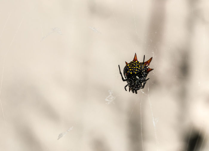 Close up of a male spiny orb weaver spider. Red Spider Spiny Orb Weaver Spotted Arachnid Insect Scary Spider Web Thorny