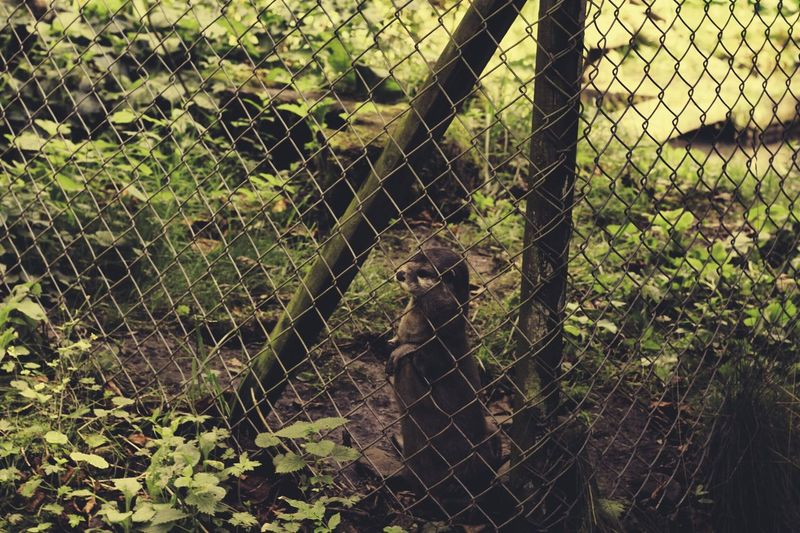 Animal Themes Boundary Chain Link Fence Chainlink Chainlink Fence Day Domestic Animals Endangered Species Fence Focus On Foreground Mammal Metal Nature One Animal Outdoors Protection Safety Security Tranquil Scene Tranquility Wire Mesh Zoo
