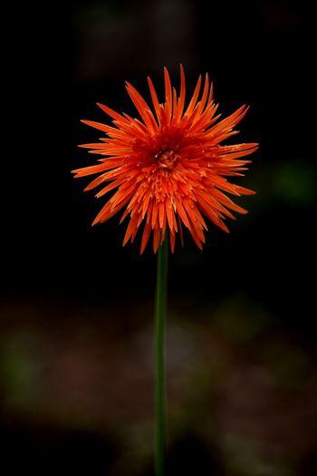 African Daisy Flower Orange Daisy