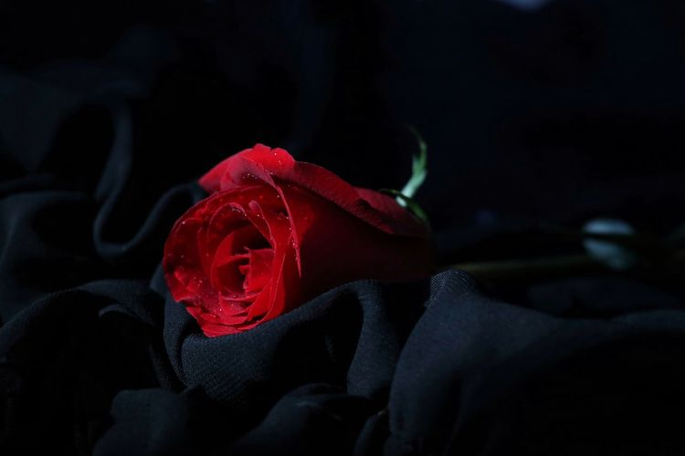Close-Up Of Red Rose On Crumpled Fabric