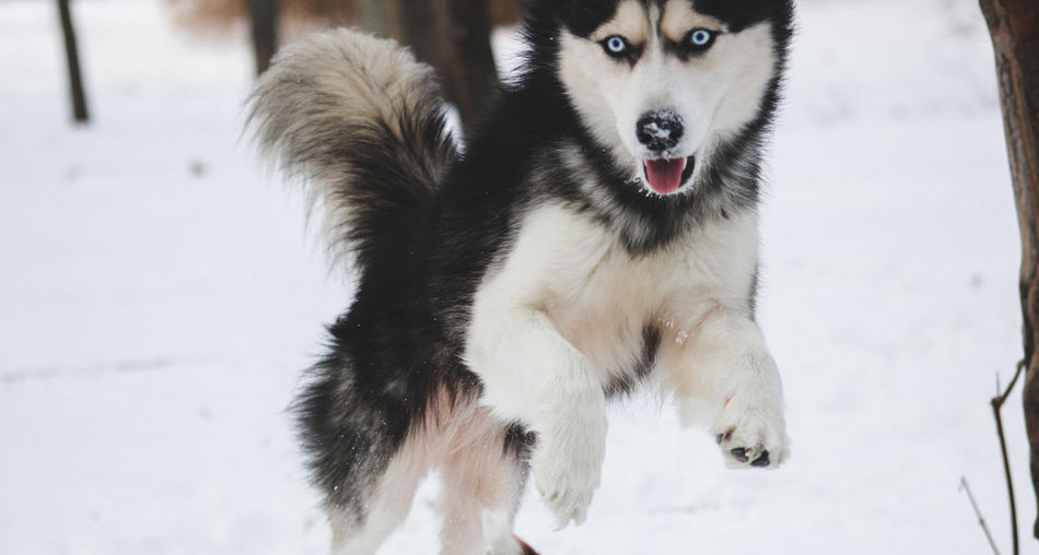 Husky playing in the snow FUNNY ANIMALS Husky ♡ Animal Animal Themes Canine Cold Temperature Dog Domestic Domestic Animals Focus On Foreground Husky Huskyphotography Mammal Mouth Open Nature No People One Animal Outdoors Pets Portrait Sled Dog Snow Vertebrate White Color Winter