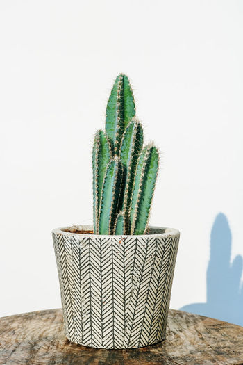 Beautiful, green tree cactus (pilosocereus azureus) in a grey stone planter with a boho style drawing, isolated on a white background. Cactus Tree Cactus Key Tree-cactus Pilosocereus Robinii Close Up Isolated Planter Modern Grey Stone Pot Potted Plant Cacti Succelent Plant House Plant Indoor Plant One Plant Wooden Table Standing Vintage Dark Wood Cement Concrete Flower Pot Stems Several White Background White Wall Sunny Bohemian Botanical Botany Urban Jungle Cacti Love